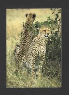 ANIMAUX - ANIMALS - CHEETAH - GUÉPARD - BELLE PHOTO - PHOTO FERRARI - Animaux & Faune