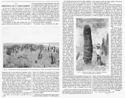 LES ECHINOCACTUS De La BASSE CALIFORNIE   1899 - A. Green Plants