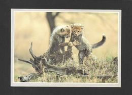 ANIMAUX - ANIMALS - 2 YOUNG CHEETAHS - 2 JEUNES GUÉPARDS - BELLE PHOTO - PHOTO WILDLIFE OF AFRICA - Animaux & Faune