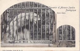 Antwerpen - Anvers: Dierentuin - Zoo - Jardin Zoologique - Ijsbeer - Ours Blanc - Ours