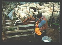 Les Pyrénées - La Vie Pastorale - La Traite - Moutons, Schapen, Sheep - Elevage