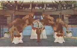 Missouri St Louis Zoo Lion Show - St Louis – Missouri