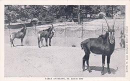 Missouri St Louis Zoo Sable Antelope - St Louis – Missouri