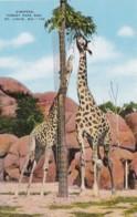 Missouri St Louis Giraffes Forest Park Zoo - St Louis – Missouri
