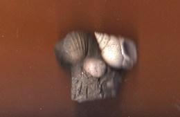 Nassarius Mutabilis  Natica SP    Coquillages Fossilisés Pliocènes Pyrénées Orientales - Fossiles