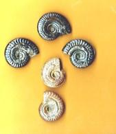 Ammonites Toarcien Domérien St Paul Des Fonts (Aveyron)  Lot De 5 - Fossiles