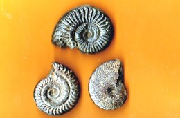 Ammonites Toarcien Domérien St Paul Des Fonts (Aveyron)  Lot De 3 - Fossiles