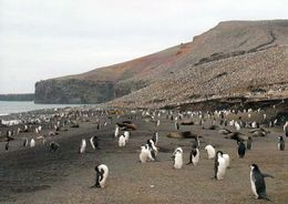 1 AK South Sandwich Islands * Pinguine Auf Der Insel Saunders * Britisches Überseegebiet Im Südatlantik - Postcards