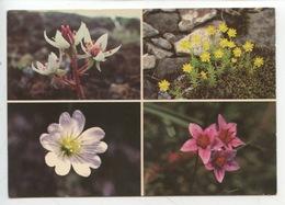 Icelandic Flora : Saifraga Stellaris Aizoide Cerastium Sedum (cp Vierge) - Fleurs