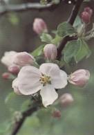 Flowers - Fleurs - Bloemen - Blumen - Fiori - Flores - Crab Apple - (Malus Sp) - WWF Panda Logo - Fleurs