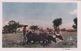 ASIE - CAMBODGE  - BOEUFS ZÉBU - LE HERSAGE POUR LA CULTURE DU RIZ - Cambodia