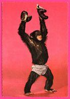 Cp Dentelée - Monkey - Singe Humanisé - Boxeur - Slip - MUVA - Monos