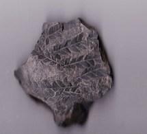 "Plante  Du Permien ""Calipteris Conferta "" (Hérault, France) - Fossiles"