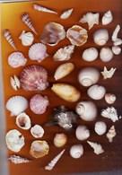Lot De Coquillages De La Mer Méditerranée (peignes, Nacres, Spirifers,escargots,murex,coquilles...) Poids 145 G - Coquillages