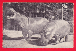 Animaux-179P40 Hippopotames - Tierwelt & Fauna