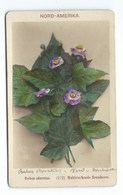 PHOTO ORIGINALE Véritable FIN XIXeme  E.LINDE&CO  PLANTE RUBUS ODORATUS - Anciennes (Av. 1900)