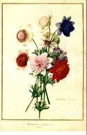 ANEMONE CORONARIA - Blumen