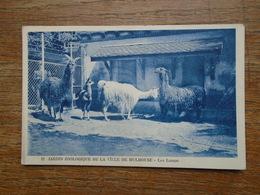 Mulhouse , Jardin Zoologique De La Ville De Mulhouse , Les Lamas - Mulhouse