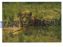 Lion. Parc Virunga. Nord Kivu. Zaïre. Editions Karisimbi - Lions