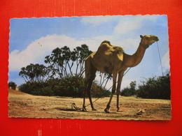 ADEN-Single Camel - Yémen