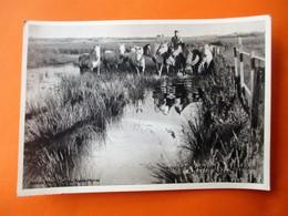 Cpa Photo Clarion A AIGUES MORTES - CHEVAUX DE CAMARGUE DANS LES MARAIS - Voyagé En 1958 - Aigues-Mortes