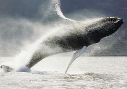 Breaching Whale , MAUI , Hawaii , 1980s - Maui