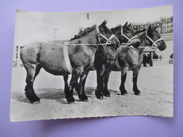 Cpa Photo - Cheval Elevage Français - AUXOIS - Voyagé En 1961 - Paarden