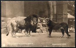 C0445 - Berlin Zoologischer Garten Tierpark - Abessinischer Löwe - Löwen