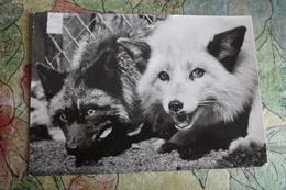 Prague - Praha Zoo. Little Fox With A Black Fox. 1980s - Animaux & Faune