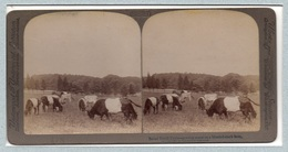 """0705 """"BELTED DUTCH CATTLE - GRAZING SCENE ON A BLOODED STOCK FARM"""" 1903, ANIMATA. STEREOSC. ORIG - Cartes Stéréoscopiques"""