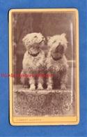 Photo Ancienne CDV - PARIS - Superbe Portrait Studio De Chien - 1883 - Photographe Clément Lagriffe - Dog Animal - Anciennes (Av. 1900)