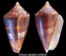 Conus Amadis Schech - Coquillages