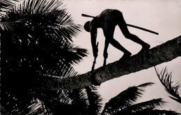 La Récolte Des Noix De Coco - Postcards