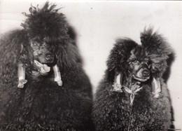 PHOTO ORIGINALE ( 13x18) Elegance Canine Exposition Annuelle  Des Caniches  Vient De S Ouvrir A LONDRES - Photographs