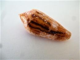 Coquillage Conidae.conus LEGATUS ( Bohol Philippines ) Belle  Taille 61 Mm Gem - Coquillages