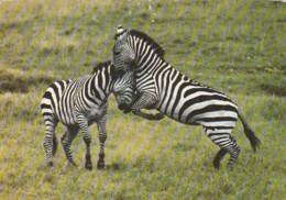 African Wildlife Zebras Kenya - Zebras