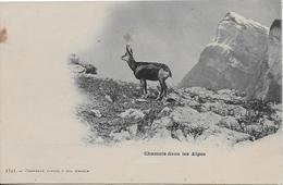 Chamois Dans Les Alpes-MO - Autres