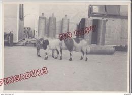Au Plus Rapide Algérie Exploitation Gaz Naturel Hassi R'Mel Laghouat Les Moutons Mouton Beau Format Très Bon état - Places