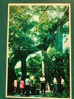 MACAU THE TWIN TREE OF THE KUN IAM TONG TEMPLE - Chine