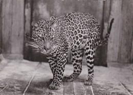 """Antwerpen """"ZOO"""" Anvers - Jagoear-Jaguar-(Felis Onca Linnaeus) - Antwerpen"""