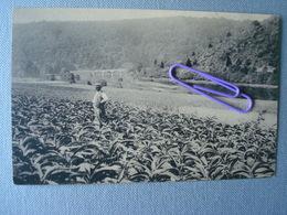 ALLE/S/SEMOIS : Pantations De Tabacs - Vresse-sur-Semois