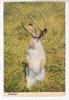 Western Jackalope, Unused Postcard [22478] - Humour