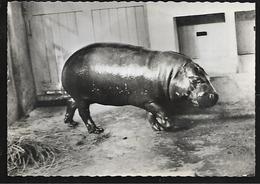 Cpsm St004305 Hippopotame Nain Du Libéria Carte Com Transfusine à Destination Des Médecins - Hippopotames