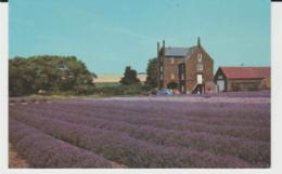 Postcard - Caley Mill, Heacham Home Of Norfolk Lavender - Unused Very Good - Postcards