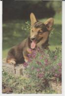 Postcard - Cardiganshire Corgi - Card No. 6166084 - Unused Very Good - Postcards