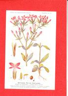 Plante Cpa Erythrée Petite Centaurée     Edit Fumouze Planche N 13 - Plantes Médicinales