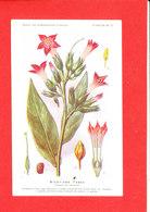 Plante Cpa Nicotiane Tabac     Edit Fumouze Planche N 15 - Plantes Médicinales