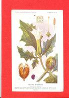 Plante Cpa Datura Stramoine Edit Fumouze Planche 10 - Plantes Médicinales