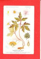 Plante Cpa Anémone Des Bois Edit Fumouze Planche 22 - Plantes Médicinales