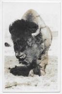 Bison/Buffalo - Byron Harmon - Alberta
